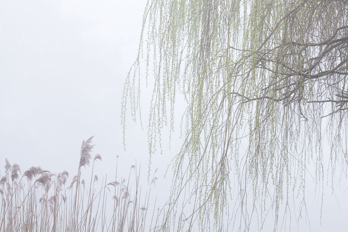 Reeds and willow
